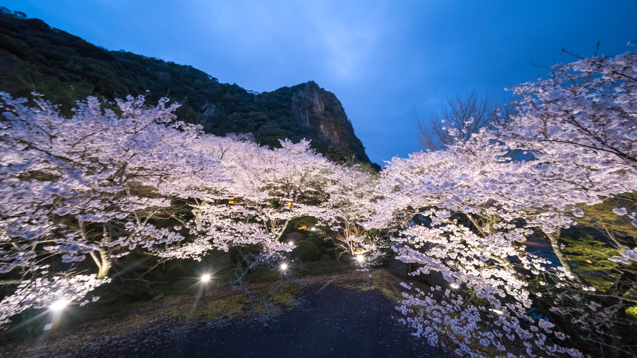 Evening: Kyushu's largest cherry blossom illumination