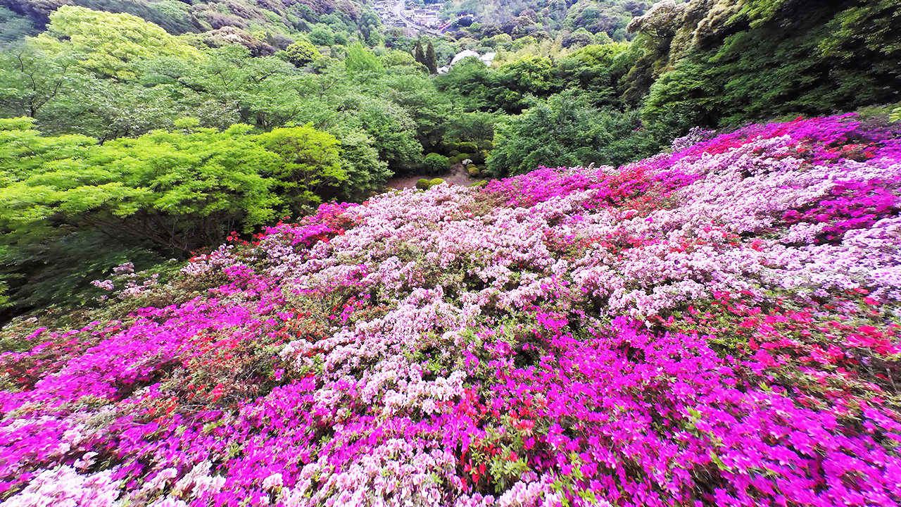 A carpet of flowers thatched by 200,000 azaleas